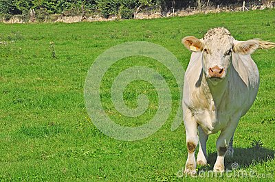 Young cow in a meadow