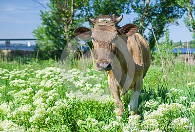 Young cow on a spring pasture.