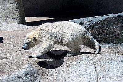 Young creeping polar bear