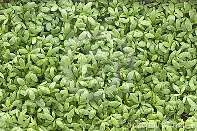 Young cress seedlings