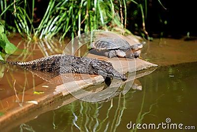 Young Crocodile and Turtle