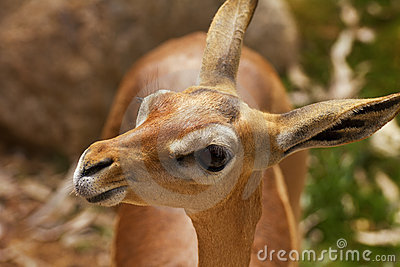 Young Dama or Mhorr Gazelle Fawn