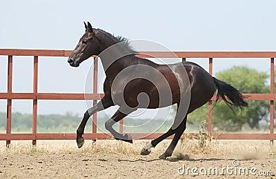 Young dark brown trakehner horse