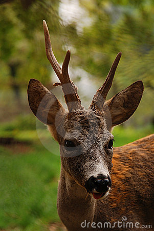 Free Young Deer Royalty Free Stock Image - 4889416