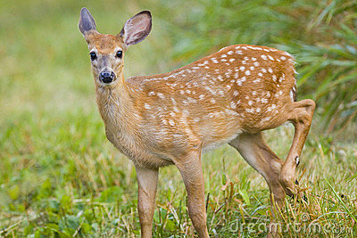 Young Deer Bamby Roe