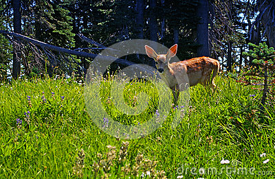Young deer fawn in a forest meadow