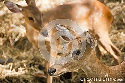 Young deer.