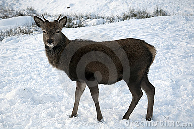 Young Deer in the Scottish snow