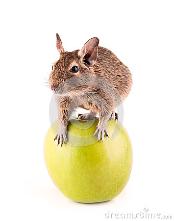 Young degu on the apple