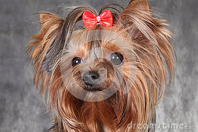 A young dog breed Yorkshire Terrier with a red bow