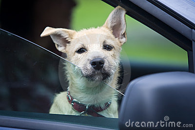Young Dog in Car
