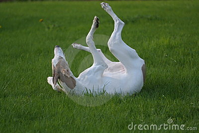 Young dog rolling in grass