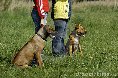 Young dogs at training