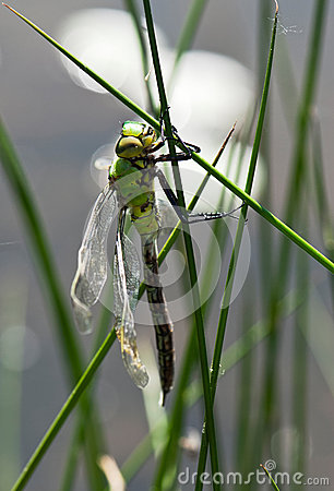Young dragonfly dries wings