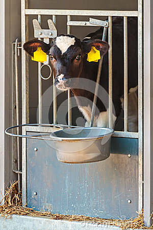 Free Young Dutch Black And White Calf In A Steel Farm Stable Stock Image - 33963321
