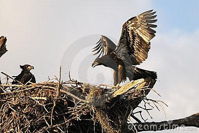 Young eagles in the nest