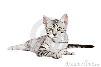 Young Egyptian Mau male