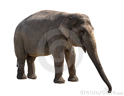 Young elephant female cutout