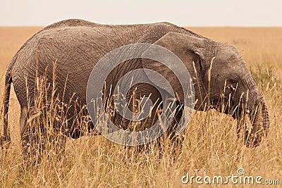 Young Elephant in Kenya