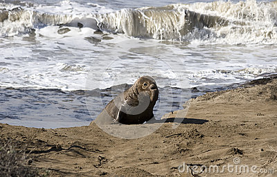 Young Elephant Seal coming out of the ocean