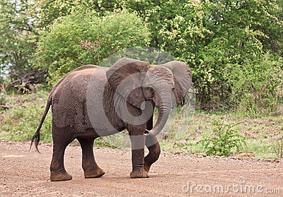 Young elephant walking over the road