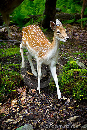 Free Young Fallow Deer In The Forest Royalty Free Stock Images - 20136209