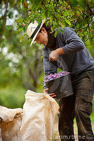 Young farmer at plum harvesting