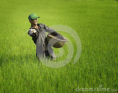 Cultivating rice in vietnam Editorial Stock Image