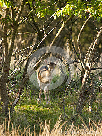 Free Young Female Fallow Deer Royalty Free Stock Photo - 35300755