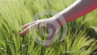 Young female hand brushing over the growing green cereal ears - close up stock video footage