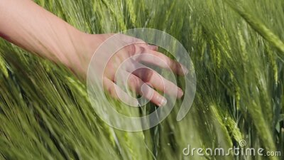 Young female hand brushing over the growing green cereal ears stock video footage