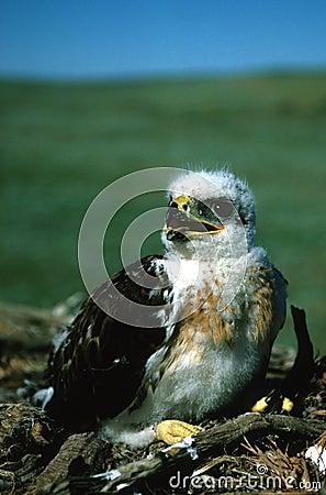 Free Young Ferruginous Hawk Royalty Free Stock Photos - 11982718