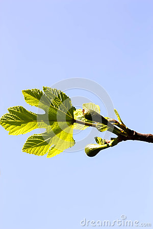 Young Fig Tree Leaves and Fruits