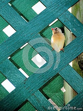 Young Finch bird