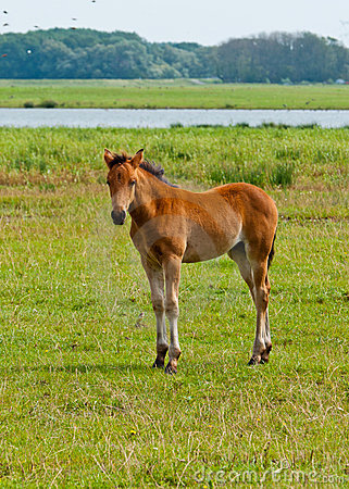 Young foal standing in grassland