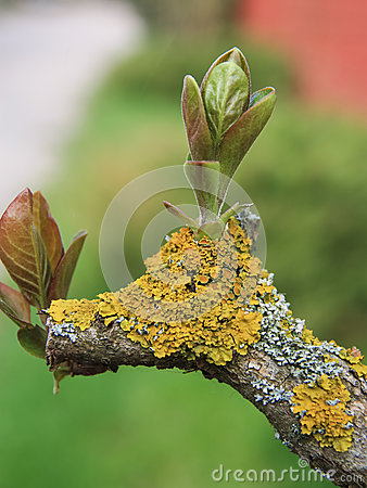 Free Young Foliage On A Tree Covered With Yellow Moss Stock Photo - 71347200
