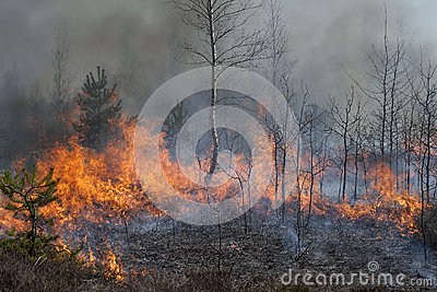 Young forest in fire