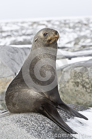 Young fur seal resting on a rocky