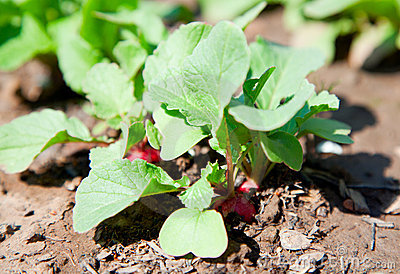 Young garden radishes