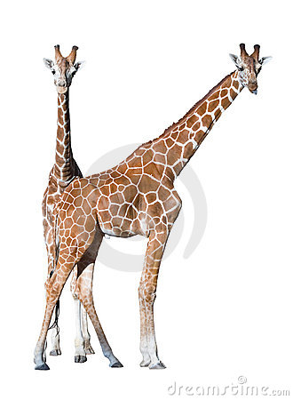 Young giraffe couple isolated