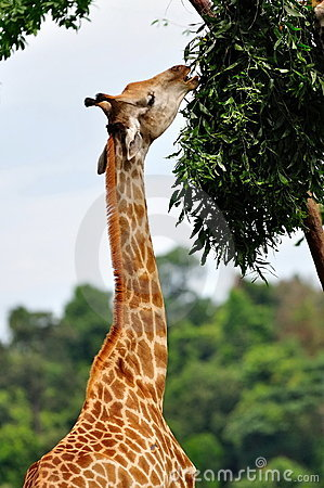 Young giraffe eating leaves