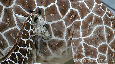 A young giraffe in front of his mother