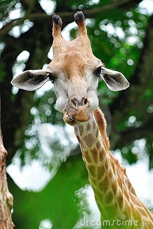 Young giraffe munching