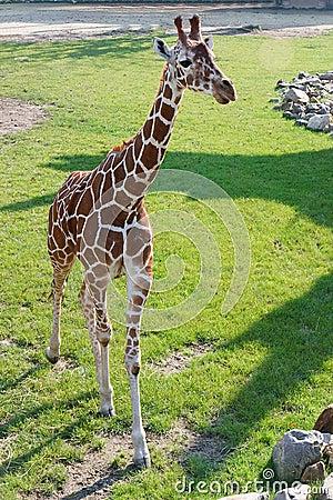 Young Giraffe, Rotterdam Zoo