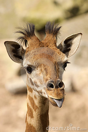 Free Young Giraffe Sticking Out Its Tongue Stock Photo - 14009220