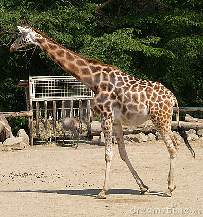 Young giraffe in ZOO