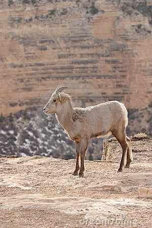 Free Young Goat Stock Image - 2060661