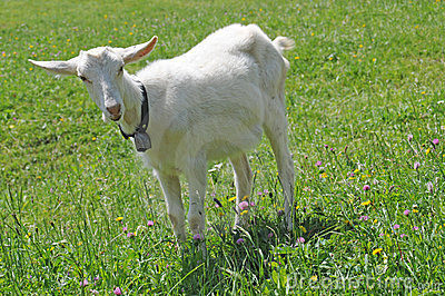Young goat