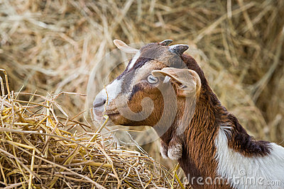 Young goat in farm