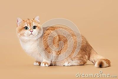 Young golden british cat